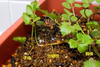 セリを種から育てる(日本古来の作物) 株分れが進行中(75日目)