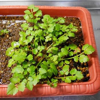 セリを種から育てる(日本古来の作物) 3ヶ月経ちました(90日目)
