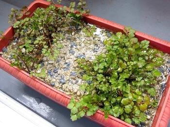 セリを種から育てる(日本古来の作物) 5か月経ちました(153日目)