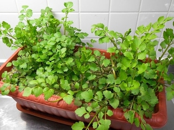 セリを種から育てる(日本古来の作物) 春の成長期(178日目)