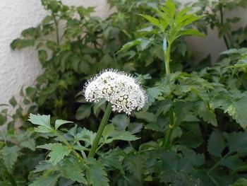 セリを種から育てる(日本古来の作物) セリの花