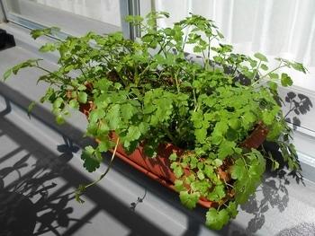 セリを種から育てる(日本古来の作物) 20の続き