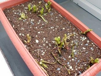 セリを種から育てる(日本古来の作物) 収穫後の切り戻し(196日目)