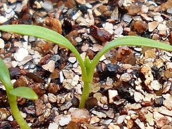 セリを種から育てる(日本古来の作物) 本葉が見えてきた(15日目)