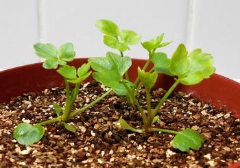 セリを種から育てる(日本古来の作物) 本葉3-4枚目(36日目)