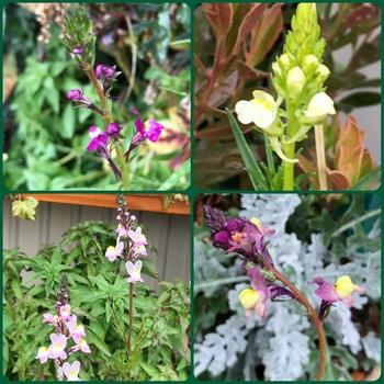 春はカラフルマナハウス♪( ´▽`) 4色咲いてます♪( ´▽`)