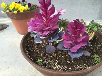 ハボタンを挿し芽 寄せ植えにしました。