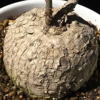 ☘️🍠アデニア属ラケモサ「栽培実験」 🍊端整な球形の塊根