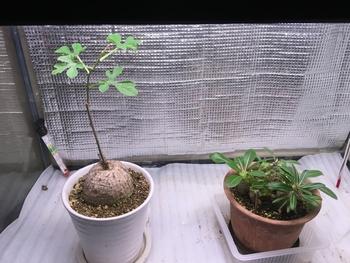 ☘️🍠アデニア属ラケモサ「栽培実験」 🍠パキポディウム寄せ植えと共に収容