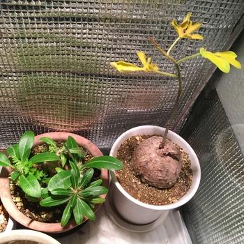 ☘️🍠アデニア属ラケモサ「栽培実験」 🍁ついに葉が黄変、落葉間近。