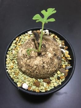 ☘️🍠アデニア属ラケモサ「栽培実験」 🤷🏻♂️ 美しいという程でもねぇな
