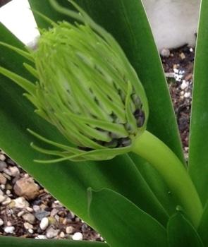 2018.10.6 シラー.ペルビアナの成長過程 3/22  花芽色づく