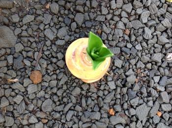 2018.10.6 シラー.ペルビアナの成長過程 10/6 少し小さめのシラーの球根。