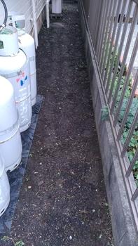 ダイコンドラの育て中 庭植え直後の状況(場所c)