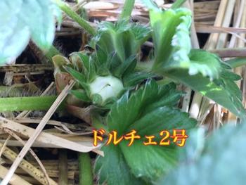 育てたイチゴを食べたいドルチェベリー ドルチェ2号蕾付く2018/12/19