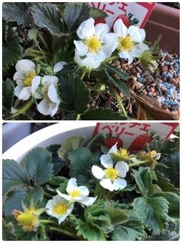 育てたイチゴを食べたいドルチェベリー 2019/4/4 白い花咲く