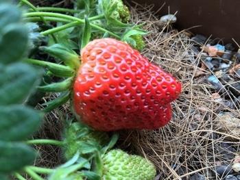 育てたイチゴを食べたいドルチェベリー 2019/4/27 実が赤くなったよ