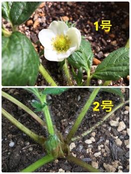 育てたイチゴを食べたいドルチェベリー 花が咲きました 2018/11/7撮影