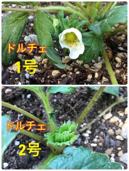 育てたイチゴを食べたいドルチェベリー 2輪目の花みっけ😍2018/11/10