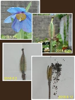 ヒマラヤの青いケシ ~第2章~ 2018年総集編
