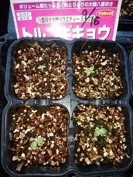 トルコキキョウ3年目の種まき 小さな芽