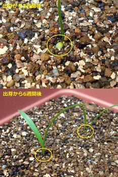 コオニユリを種から育てる(日本古来の作物) 地中に潜る球根(58日目)