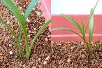 コオニユリを種から育てる(日本古来の作物) 順調に展葉中②(222日目)