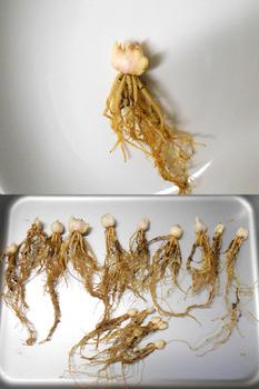 コオニユリを種から育てる(日本古来の作物) 球根の掘り出し(362日目)