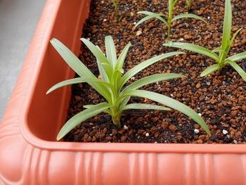 コオニユリを種から育てる(日本古来の作物) 成長が早い(472日目)