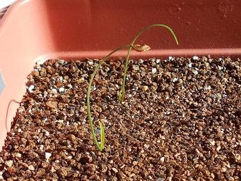 コオニユリを種から育てる(日本古来の作物) 本葉が伸びてきた(41日目)