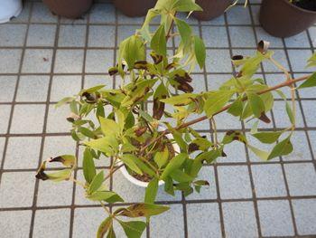 挿し木でチャレンジ!セイヨウニンジンボク 葉が枯れかけてきました。