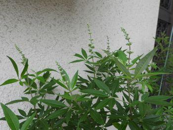 挿し木でチャレンジ!セイヨウニンジンボク まる3年、今年も蕾が。