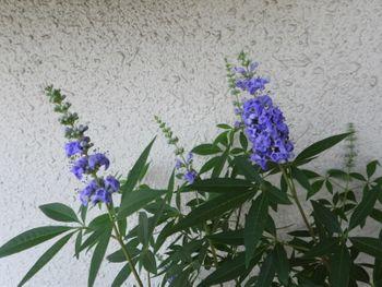 挿し木でチャレンジ!セイヨウニンジンボク 去年より花数多いかな。