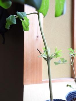 挿し木でチャレンジ!セイヨウニンジンボク 新芽が出た!