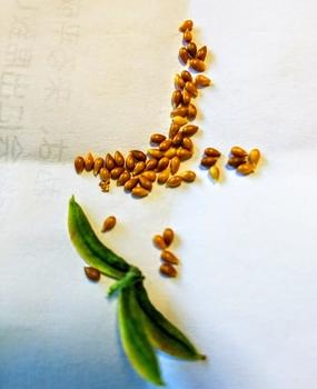 挿し芽でビオラ再生 種が採れました