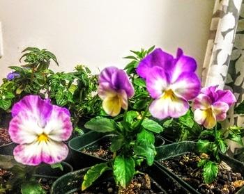 挿し芽でビオラ再生 2月に入ってもまだ咲いています