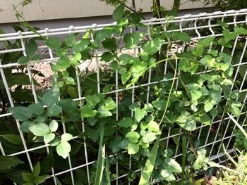 2年目の仙人草をそだてる 2019/4/19 驚異的成長しています
