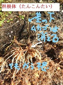 ソライモ(宇宙イモ)はムカゴだった! 地下茎のイモって?