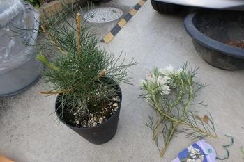 セルリアに挑戦します! お花をカットしました。
