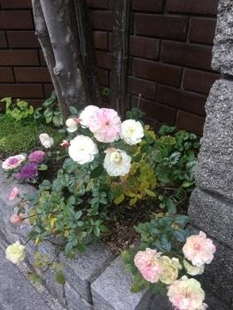ミニハボタン 花壇全景