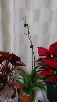 オンシジウム・プチプリマアイル 花芽が伸びてきました