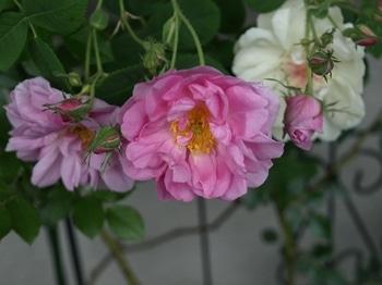2018年春、トレリスのジャクリーヌ・デュ・プレとヨーク・アンド・ランカスター 並んで咲けた