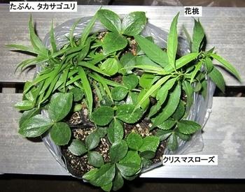 クリスマスローズ ① 『スカーレット』 2012年 苗から育てる 苗をもらった