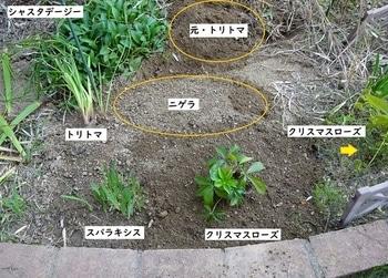 クリスマスローズ ② 『リリー』 2013年 種から育てる ① 地植え