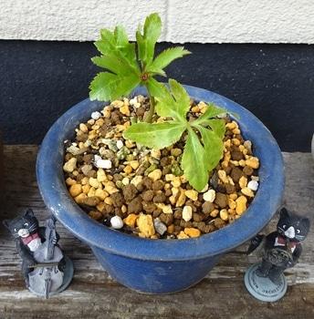 クリスマスローズ ② 『リリー』 2013年 種から育てる ① 鉢植え