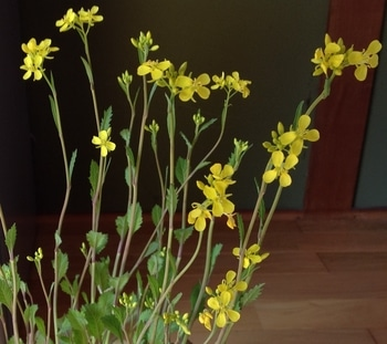1/9 タカナの種から成長、収穫。 3/14  タカナの花が開花。