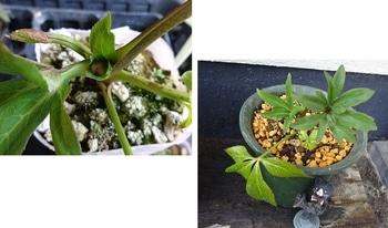 クリスマスローズ ③ 2014年 自家採取の種から育てる 植え替え