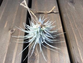 好きです銀葉種❤️テクトラム 吊るし紐
