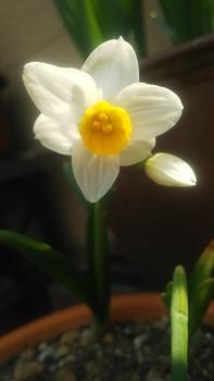 日本水仙を咲かせたい 開きました!