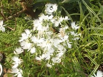 10年ものなのですが近年元気がないサギソウを育てます 7/22 花がら摘み